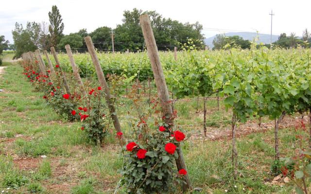 rose-e-vigne-bis.jpg_200861116469_rose-e-vigne-bis-640x399